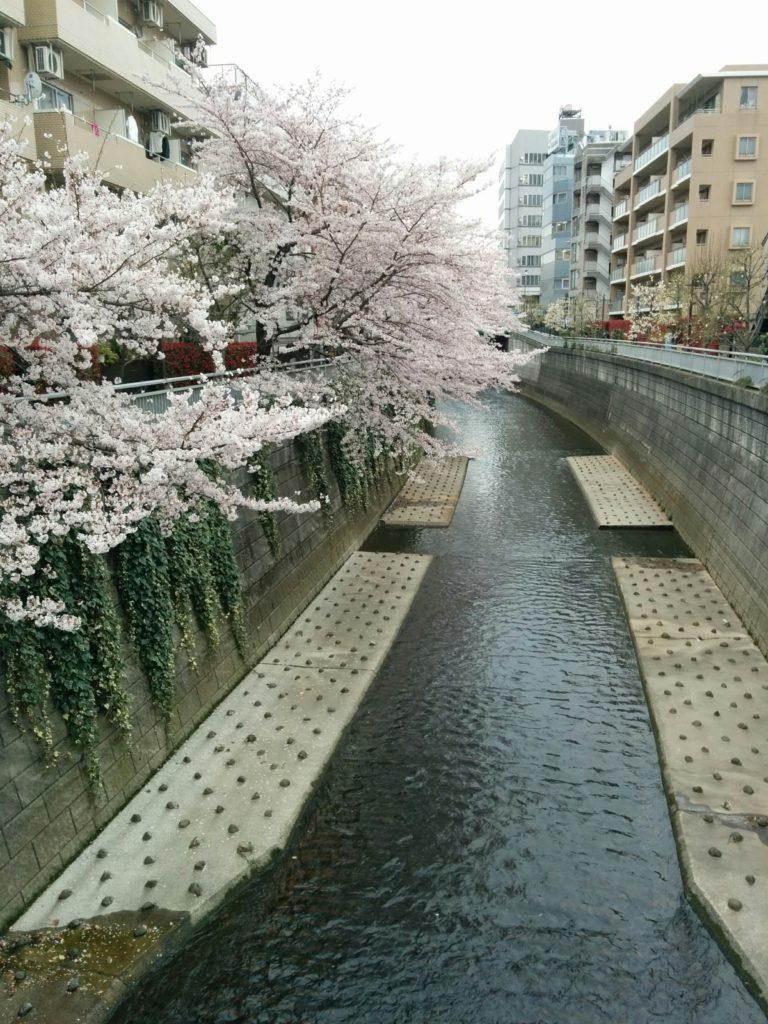 西新宿 桜の見どころポイントは神田川の桜と常円寺の夜桜